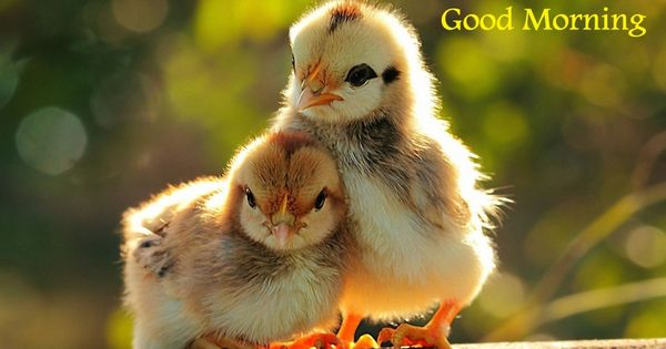 Good Morning Beautiful Birds Images : Good morning chicken pictures beautiful
