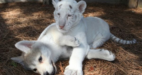 wolf cub and lion cub | cute things | Pinterest | Wolf ... Cute Siberian Tiger Cubs