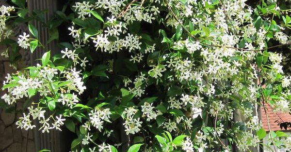 Types Of Fragrant Climbing Plants Jasmine And Hgtv