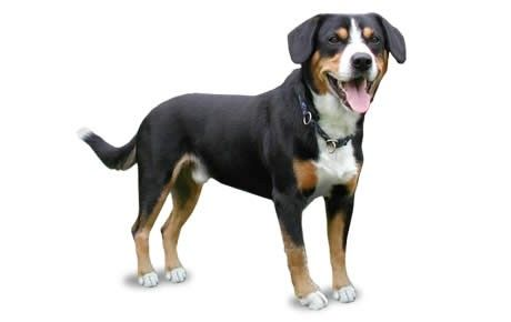 Entlebucher Mountain Dog Breed Information Pictures Characteristics Facts Dogtime Entlebucher Mountain Dog Mountain Dog Breeds Dog Breed Photos