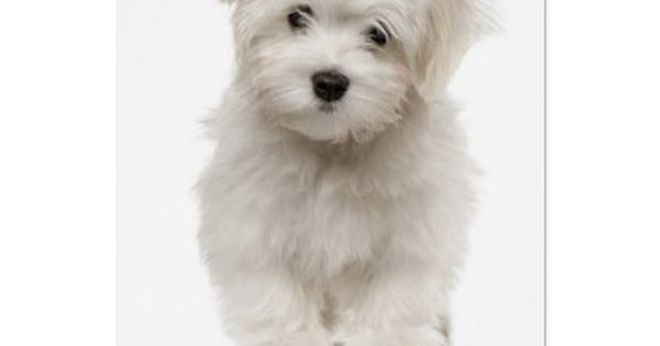 Pin On Maltese Puppy
