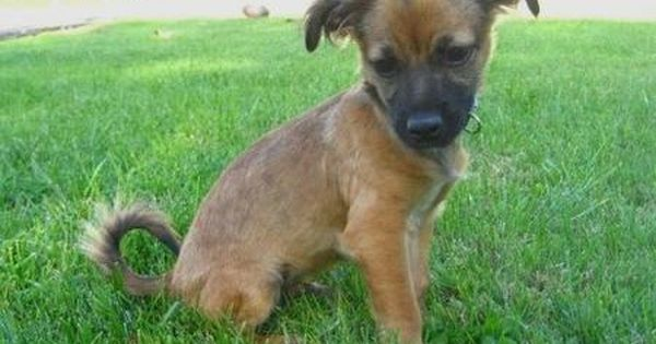 The German Shepherd Formerly Known As Alsatian And Alsatian Wolf Dog In Britain Is A Breed Of Lar German Shepherd Chihuahua Mix German Shepherd Shepherd