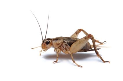 Feeder Crickets For Sale Insects