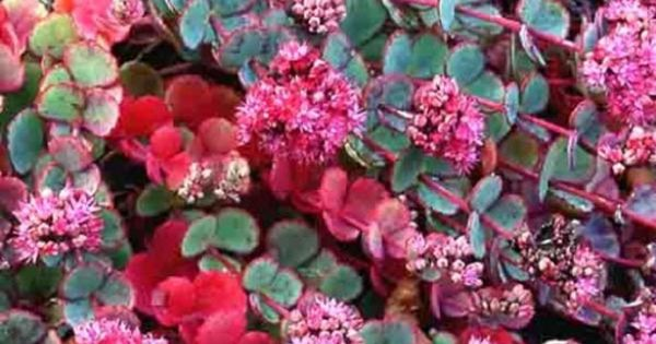Sedum sieboldii orpin petite plante grasse tapissante for Plante grasse exterieur vivace