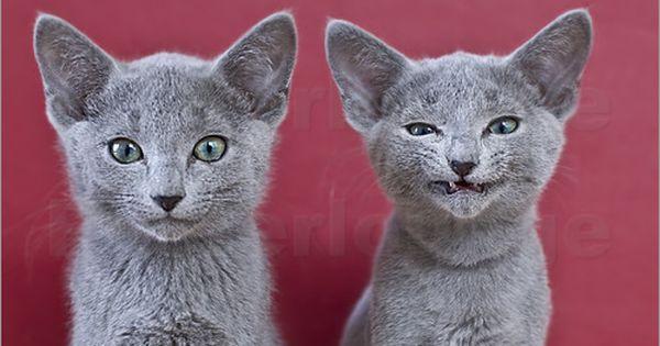 Russian Blue Kitten Pictures Russian Blue Cat Russian Blue Kitten Russian Blue