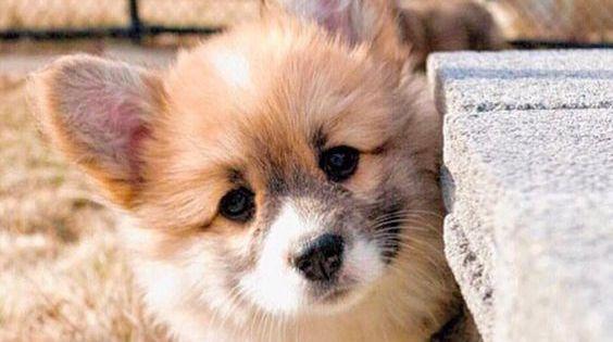 10 Sploot Worthy Holiday Gift Ideas For Corgi Lovers Cute Corgi