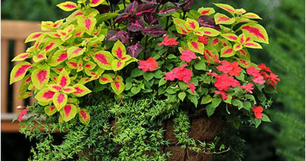 Perfect Shade Container Coleus Impatiens And Ivy