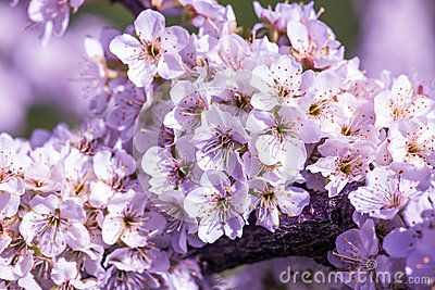 Close Up On Blossoms Of Edible Cherry Tree Blossom Bloom Cherry Tree
