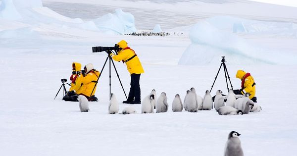 Emperor Penguin chicks sit next to photographers in Antarctica by David C