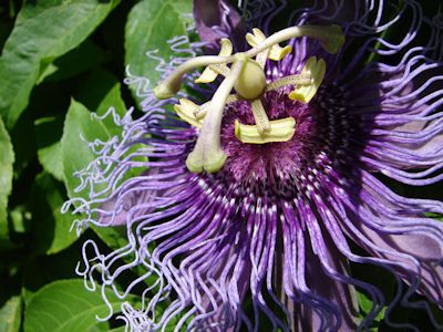 The Herb Gardener How To Grow Passionflower Passion Flower When To Plant Vegetables Herb Seeds