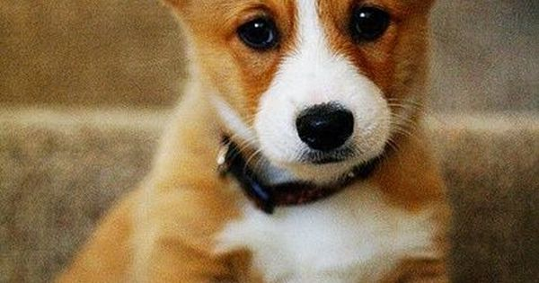 The Cardigan Welsh Corgi ~ is a small herding dog that originated
