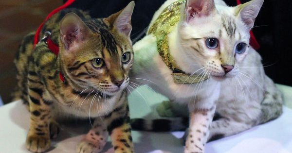 Brown And Snow Bengal Kittens At Tica S Akc Meet The Breeds In Nyc Https Www Youtube Com Watch V Hobb6tlxjmk Bengalkitten Bengale