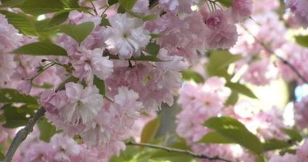 How To Prune A Weeping Cherry Blossom Tree Ehow Weeping Cherry Tree Flowering Cherry Tree Japanese Cherry Tree