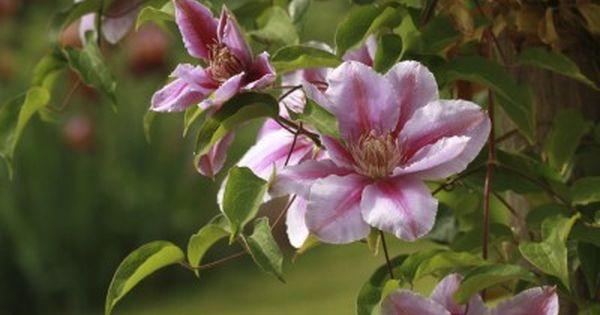 training clematis vines  u2013 tips for clematis growing on