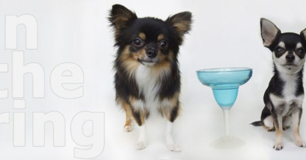 Welcome To Figgys Cocktail Chihuahuas Http Figgyschihuahuas Com