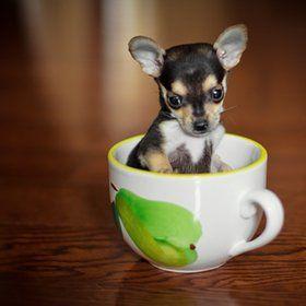 Teacup Chihuahua Teacup Animals Cute Dogs Chihuahua