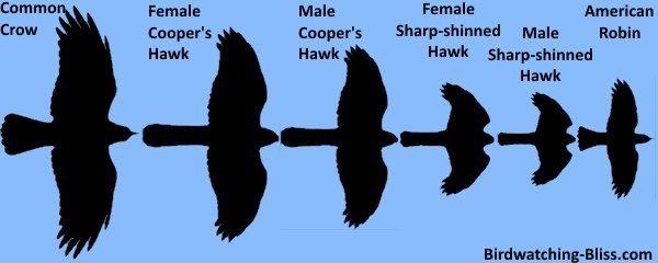 Coopers Hawk Vs Sharp Shinned