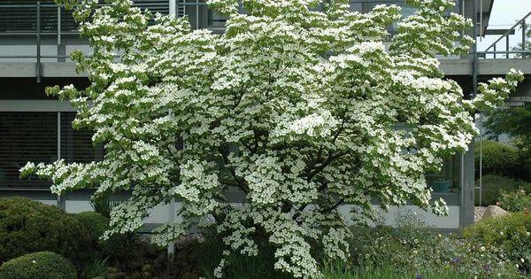 cornus kousa garden trees shrubs pinterest. Black Bedroom Furniture Sets. Home Design Ideas