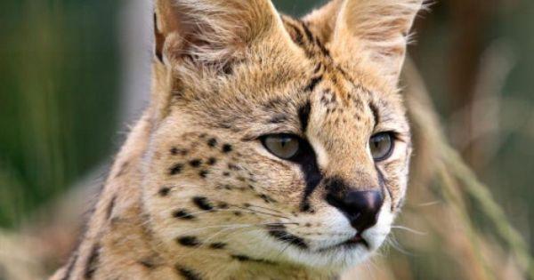 Serval By Requestleptailurus Serval C Oasisexoticcats Com A Medium