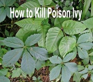 How To Remove Poison Ivy Safely Wet The Ground And Pull It Out