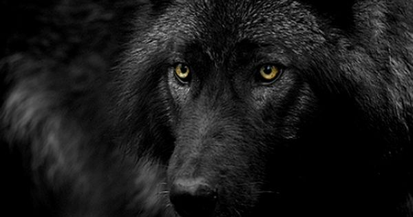 black wolf with yellow eyes - photo #24