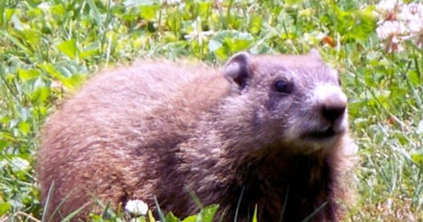 Groundhog Have One Of These Chubbers Living Under My