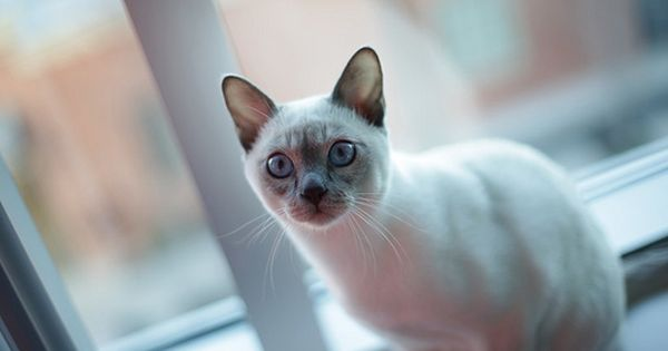 Red Tonkinese Cat Rare Cat Breeds Cute Cats