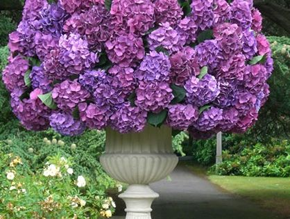 hydrangeas gardening pinterest beautiful lila. Black Bedroom Furniture Sets. Home Design Ideas