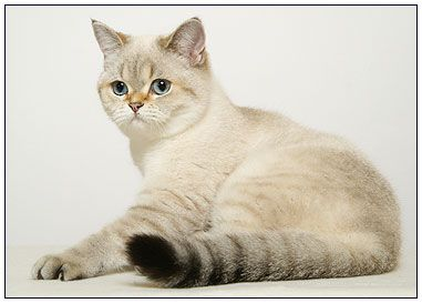 British Shorthair Cat Seal Golden Shell Point American