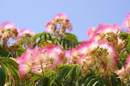 Mimosa Trees Lovetoknow Mimosa Tree Fast Growing Shade Trees Silk Tree