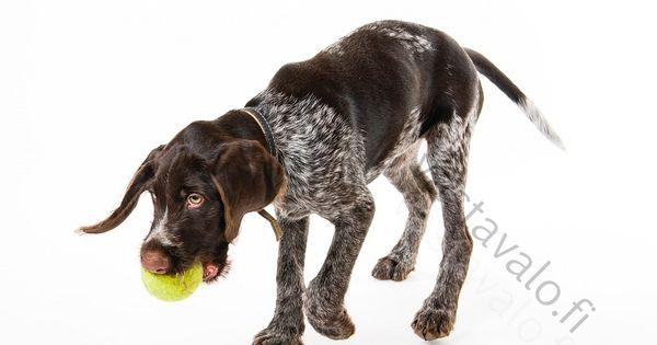 Palloa Noutava Pentu Ahkera Aktiivinen Aktiivisuus Karkeakarvainen Saksanseisoja Kasvava Kasvuiassa Kkss Kkssn Koira Koiranlelu Koiranpentu Leikk Dogs Animals