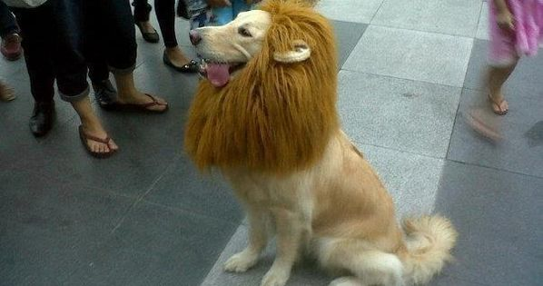 trust me, i'm a lion. Labrador in a lion costume.