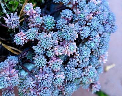 Ground Cover: Sedum hispanicum, Blue Carpet