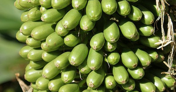 Agave attenuata fruit agave attenuata and agaves for Ambarella cambodian cuisine