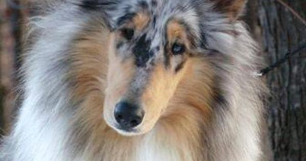 """""""brightmore Collies Is A Quality Akc Rough Collie Breeder"""