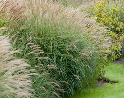 Low maintenance and elegant ornamental grass this easy for Low maintenance grass plants