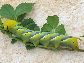 Die Schonsten Schmetterlinge Und Raupen Der Kanaren Schmetterling Raupe Teneriffa La Palma La Gomera Fuerteventura E Schmetterlingsraupen Raupe Schmetterling
