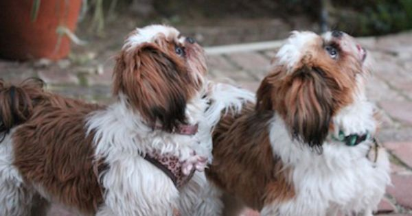 Sparty And Bella Are Two Shih Tzu Puppies Growing Up In Los