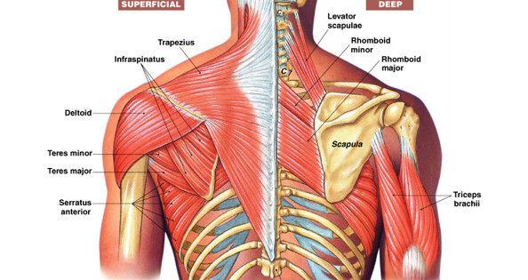 neck and shoulder muscles diagram back/shoulder anatomy. | be strong | pinterest | strength ... neck lymph node levels diagram
