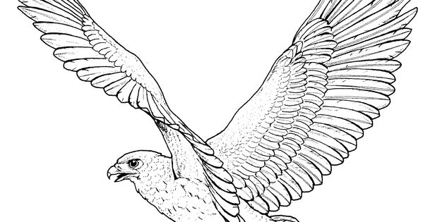 Red tailed hawk coloring page birds of prey hawk coloring for Birds of prey coloring pages