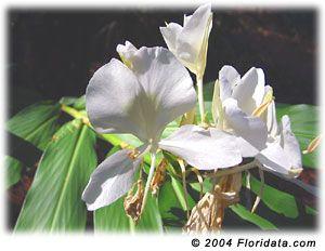 Hedychium Coronarium Lily Plant Care Lily Plants Fragrant Plant