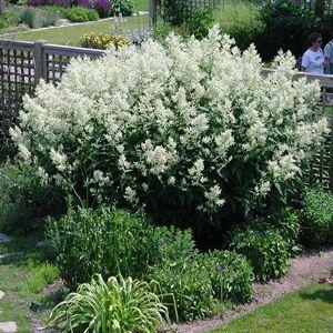 Persicaria Polymorpha Giant Fleece Flower Polygonaceae The Buckwheat Family White Gardens Plants Perennials
