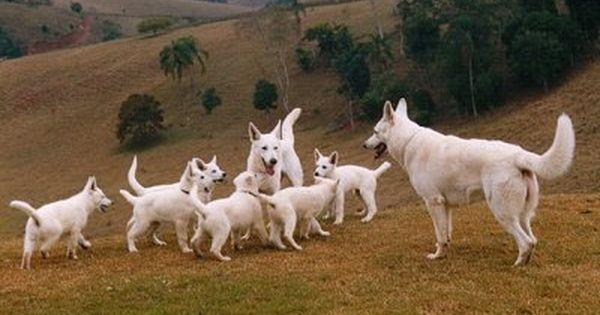 Down Command With Distractions Shepherd Dog Breeds Shepherd Dog
