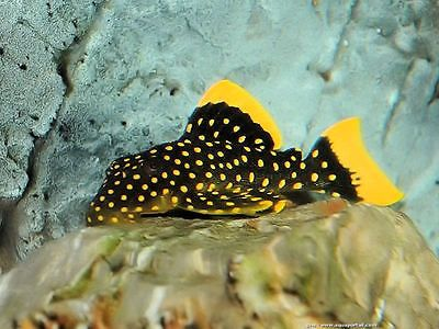 1 X L18 Golden Nugget Pleco Large Spot Catfish Algae Tropical Fish Aquarium Catfish Tropical Fish Aquarium Tropical Fish Tanks