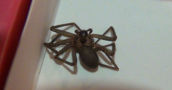 What Does A Big Recluse Spider Look Like What A Brown