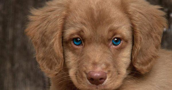 Cocker Spaniel and Golden Retriever mix...awww! love the baby blue eyes!!!!!
