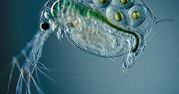 Ever wondered what a water flea looks like? ravenectar microscope upclose beautiful