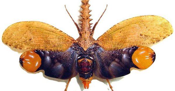 Cathedra serrata Fulgoridae BEAUTIFUL Taxidermy REAL Insect  UNMOUNTED