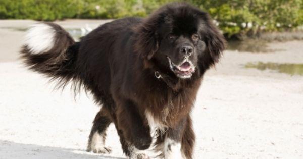 Roundworm In Dogs Dog Breeds Dogs Huge Dog Breeds