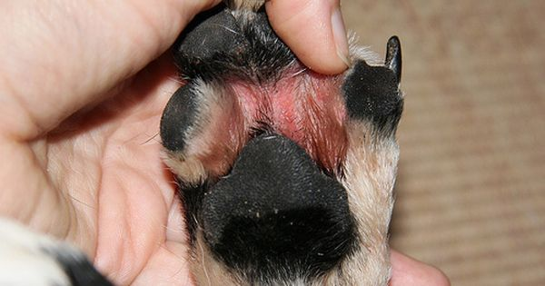 Natural Remedies For Atopic Dermatitis In Dogs Dog Remedies Dog Paw Remedies Dog Allergies Remedies